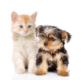 little Yorkshire Terrier and kitten. isolated on white