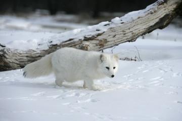 Arctic fox, Alopex lagopus