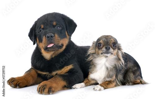 Fototapeten,hund,rottweiler,chihuahua,welpe