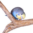A blue budgie looking curiously at the camera, isolated on white