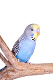 A blue male budgie sitting on a branch, isolated on white
