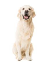 Golden retriever pies siedzi na białym tle izolowane