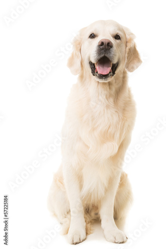 Foto op Canvas Hond golden retriever dog sitting on isolated white