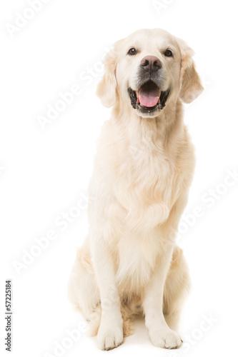 Deurstickers Hond golden retriever dog sitting on isolated white