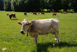 Mucche bavaresi