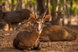 Timor Deer in the park at Tiger Temple, Thailand