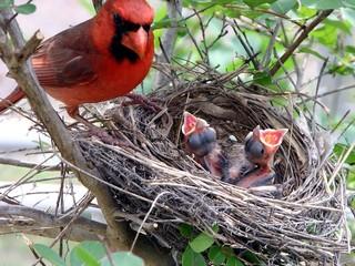 The Cardinals nest