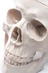 模型の頭蓋骨のクローズアップ