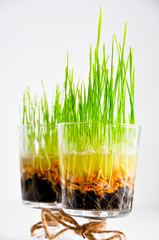 wheat grass close-up in a bowl