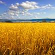Rye field. Rye ears.