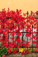 red foliage  on a metal fence