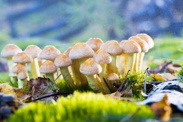 mushrooms - Hypholoma fasciculare
