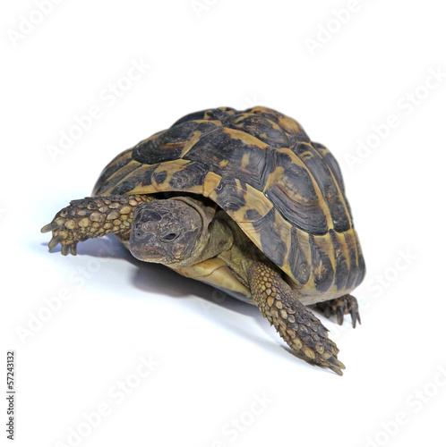Tuinposter Schildpad tortue terrestre d'Hermann