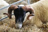 A Curled Horned Sheep on a Bed of Straw.