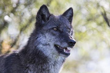 mature female gray wolf