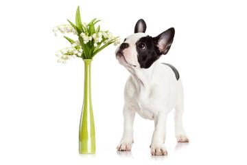 French bulldog  portrait on a white background.