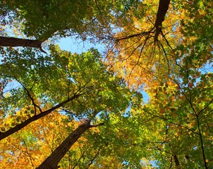 looking up colourful trees in the fall