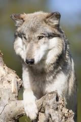Wolf  on dead tree