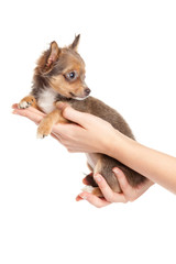 Hands holding puppy.  little puppy sitting on the hand. chihuahu