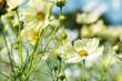 黄色いコスモスの花畑
