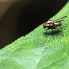 Fly bee insect