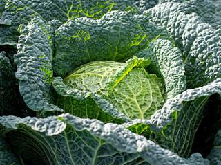 Taufrisches Gemüse - Wirsing