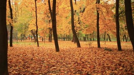 Golden  autumn. Stabilized clip