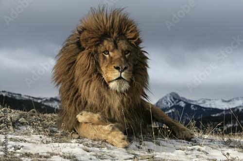 Staande foto Leeuw Barbary lion, Panthera leo leo