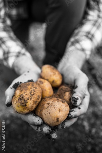 Farmers hands showing freshly dug potatoes