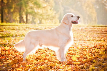 beautiful golden retriever autumn portrait