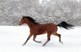 Paso Fino horse galloping in winter