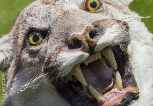 Cougar, North American Mountain Lion, Puma Concolor