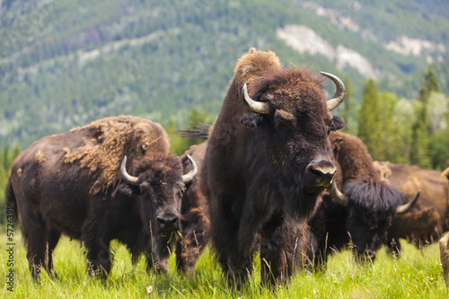Deurstickers Bison American Bison or Buffalo