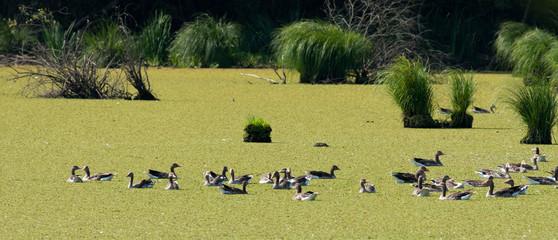 Wild ducks on lake on sunny day