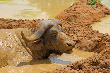 Mud Covered Cape Buffalo