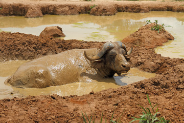 Wallowing Cape Buffalo