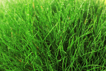 Beautiful green grass, close up