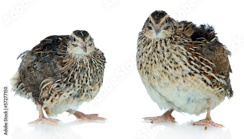 Young quails isolated on white
