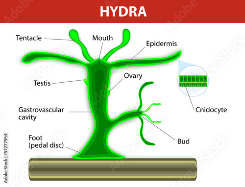 Structure of a hydra