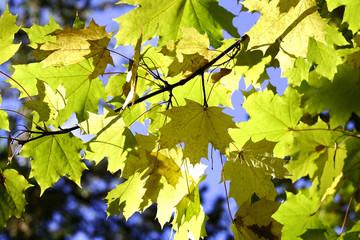 Осенние кленовые листья на фоне голубого неба