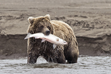 Coastal Brown Bear With Catch