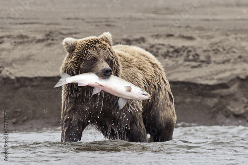 Plexiglas Dragen Coastal Brown Bear With Catch