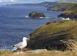 Seagull with the background of Tintagel coast, Cornwall