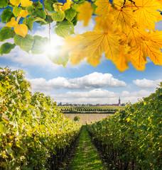 Weinanbau in der Pfalz: Wingert an sonnigem Herbsttag