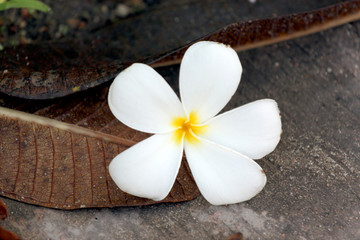 Frangipani flowers are yellowish white.