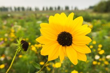 Flowering Browneyed Susan