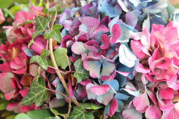 bunte Hortensienblüten mit Efeu