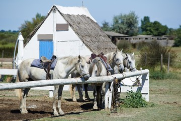 Portrait of nice horses wild in camargue french Region