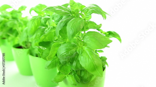 Basil plant on white background, dolly-shot