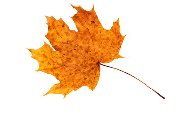 Dry autumn leaf